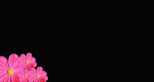 bakgrund som härliga svarta cosmeakosmos blommar isolerad pink, steg härlig blomma Royaltyfria Foton