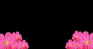 bakgrund som härliga svarta cosmeakosmos blommar isolerad pink, steg härlig blomma Royaltyfri Bild