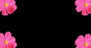 bakgrund som härliga svarta cosmeakosmos blommar isolerad pink, steg isolerad blomma Arkivfoto