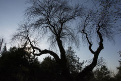 bakgrund som isoleras över white för poplartree Arkivbild