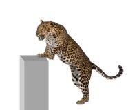 bakgrund som klättrar främre leopardwhite Royaltyfri Foto