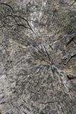 Bakgrund textur avverkade en stor trädstam Royaltyfri Bild