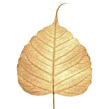 bakgrund torkat leafskelett Royaltyfri Foto