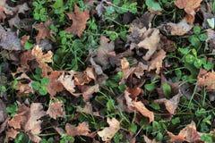 Bakgrund växt av släktet Trifolium, blad Arkivfoton