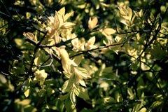 Bakgrund växten är unga sidor för en buske på våren Royaltyfria Bilder
