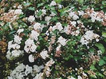 Bakgrund - vita blommor av Spiraeavanhoutteien i Juni royaltyfri foto