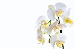 bakgrund vita isolerade orchids Royaltyfria Bilder