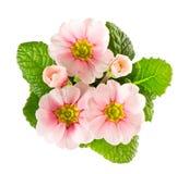 bakgrund vita isolerade rosa primulas Arkivbilder