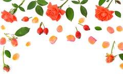 bakgrund vita isolerade rosa ro Lekmanna- lägenhet, bästa sikt Royaltyfri Bild
