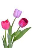 bakgrund vita isolerade rosa tulpan Royaltyfria Bilder