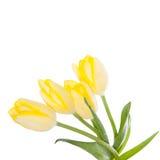 bakgrund vita isolerade tulpan färgblommor Royaltyfri Bild