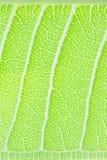 Tillbaka leaf Arkivfoton