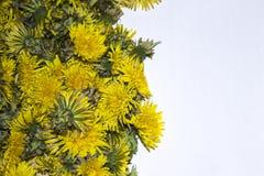 Bakgrunden av de många knopparna av gula maskrosor Arkivfoto