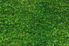 Bakgrunden av gräsplan lämnar den naturliga väggen royaltyfria foton