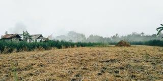 Bakgrunden av gula risfält, när ris skördas av bönder arkivbild