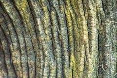 Bakgrunden av ridit ut trä, gammal wood textur Arkivfoton
