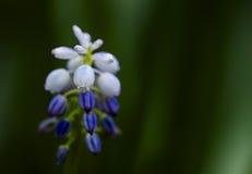 Bakgrunden av våren blommar Muscarimakro Royaltyfri Bild