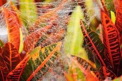 Bakgrunden för closeup för spindelrengöringsduk (spindelnät). Royaltyfri Fotografi