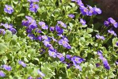 Bakgrunden från mjuka mjuka violetta små blommor Arkivfoton