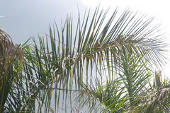 Bakgrunder 057 - överkant av palmträdet Arkivfoton
