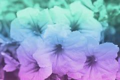 Bakgrunder för purpurfärgad och grön färg med blommor, mjuk fokus av härliga blommor med färgfilter Royaltyfri Fotografi