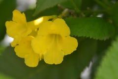 Bakgrunder 030 - närbildskott av blommande gula blommor Royaltyfri Foto