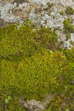 Bakgrunder som textureras, mossa Arkivbild