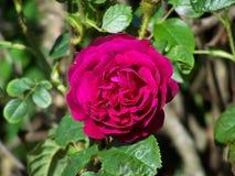bakgrundsbanret blommar datalistor little rosa spiral Arkivfoton
