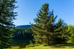 Bakgrundsbarrträd i skogen med blå himmel i British Columbia Kanada Arkivfoton