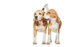 bakgrundsbeaglehundar isolerade white två Royaltyfri Foto