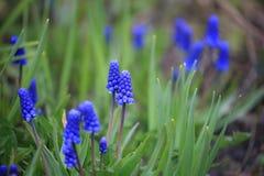 Bakgrundsbild av blommor med blåa inflorescences royaltyfri foto
