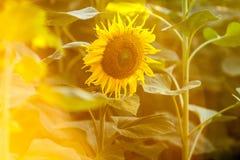 Bakgrundsbild av ett solrosfält royaltyfria bilder