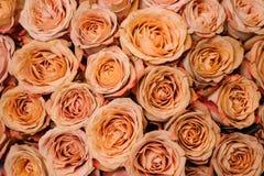 Bakgrundsbild av nya beigea orange rosor Blommatextur Fotografering för Bildbyråer