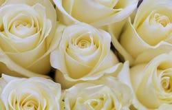 Bakgrundsbild av vita rosor Royaltyfri Bild