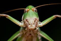 bakgrundsblackclosen isolerade upp gräshoppan Arkivfoton