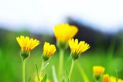 bakgrundsblommor freen yellow Arkivbild