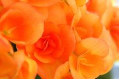 Bakgrundsblommor gulnar färgbegonior för att blomma beautifully i sommar royaltyfria foton