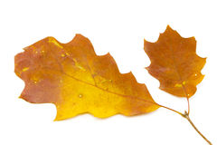 bakgrundsbluen låter vara oakskyen Arkivbild