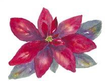 bakgrundsbolljulen blommar exponeringsglas isolerad röd white för julstjärna Royaltyfria Bilder