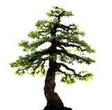 bakgrundsbonsai isolerade treewhite royaltyfri fotografi