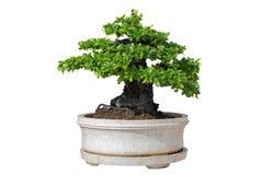 bakgrundsbonsai isolerade treewhite Dess buske är fullvuxen in royaltyfria bilder