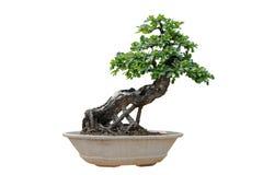 bakgrundsbonsai isolerade treewhite Dess buske är fullvuxen in royaltyfri fotografi