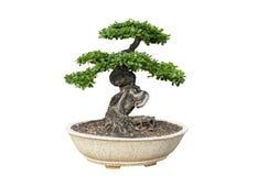 bakgrundsbonsai isolerade treewhite Dess buske är fullvuxen i en kruka eller ett dekorativt träd i trädgården royaltyfri bild