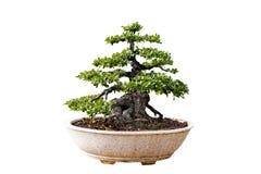 bakgrundsbonsai isolerade treewhite Dess buske ?r fullvuxen i en kruka eller ett dekorativt tr?d i tr?dg?rden royaltyfri foto