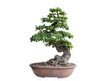 bakgrundsbonsai isolerade treewhite Dess buske ?r fullvuxen i en kruka eller ett dekorativt tr?d i tr?dg?rden arkivfoto