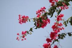 bakgrundsbougainvillea Royaltyfri Bild