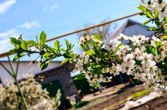 bakgrundsCherry som skapar den glada moodfjädern för blomning Fotografering för Bildbyråer