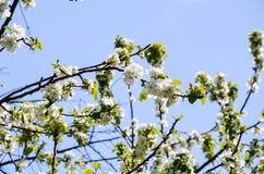 bakgrundsCherry som skapar den glada moodfjädern för blomning Royaltyfri Fotografi