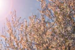 bakgrundsCherry som skapar den glada moodfjädern för blomning Royaltyfri Foto