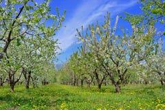 bakgrundsCherry som skapar den glada moodfjädern för blomning Soligt väder, blå himmel Arkivbild